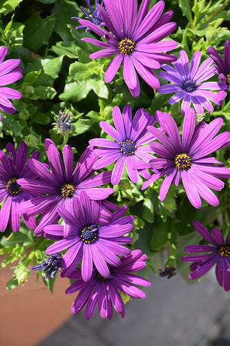 Margarita Cool Purple African Daisy flowers