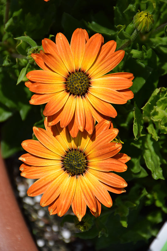 Margarita Orange Flare African Daisy flowers