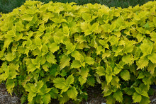 Load image into Gallery viewer, Wasabi Coleus