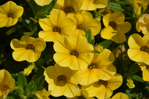 Superbells® Yellow Calibrachoa flowers