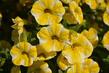 Load image into Gallery viewer, Superbells® Lemon Slice Calibrachoa flowers