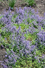 Load image into Gallery viewer, Cat's Pajamas Catmint in bloom