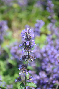 Cat's Pajamas Catmint flowers