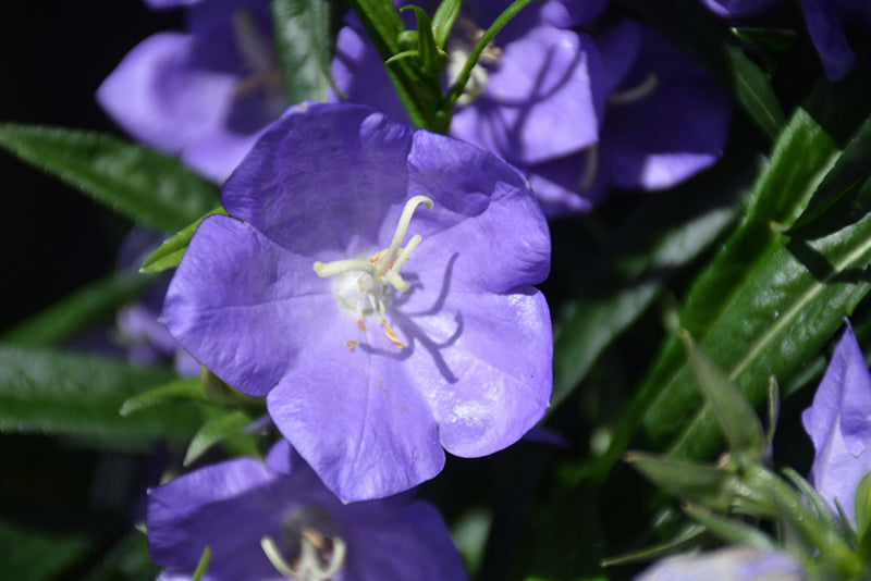 Takion Blue Peachleaf Bellflower flowers