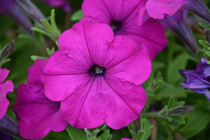 Easy Wave® Violet Petunia flowers