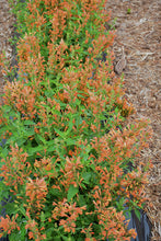 Load image into Gallery viewer, Poquito™ Orange Hyssop in bloom