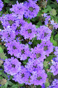 Superbena® Royale Chambray Verbena flowers
