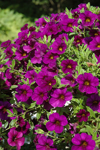 Cabaret® Purple Calibrachoa flowers