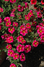 Load image into Gallery viewer, Superbells® Cherry Star Calibrachoa flowers