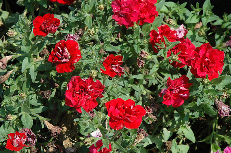 Double Wave Red Petunia flowers