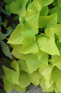 Marguerite Sweet Potato Vine foliage