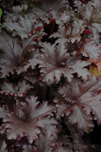 Load image into Gallery viewer, Black Taffeta Coral Bells foliage