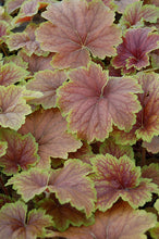 Load image into Gallery viewer, Delta Dawn Coral Bells foliage