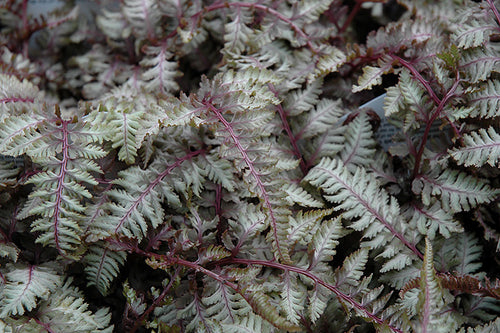 Regal Red Painted Fern foliage