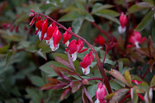 Load image into Gallery viewer, Valentine Bleeding Heart flowers