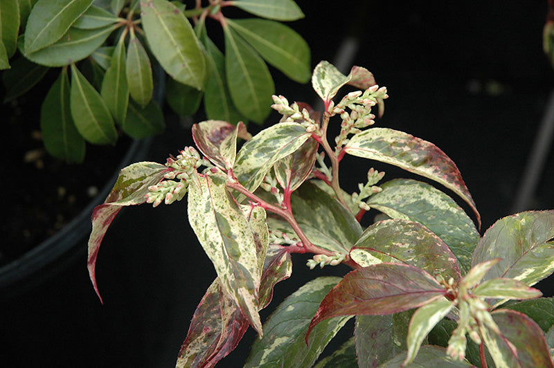 Rainbow Fetterbush foliage