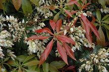 Load image into Gallery viewer, Scarlet O'Hara Japanese Pieris flowers