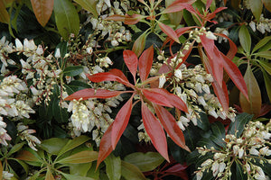 Scarlet O'Hara Japanese Pieris flowers