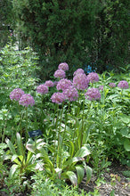 Load image into Gallery viewer, Globemaster Ornamental Onion in bloom