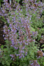 Load image into Gallery viewer, Purrsian Blue Catmint flowers