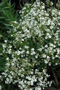 Festival™ Star Baby's Breath flowers