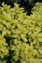 Load image into Gallery viewer, Sunjoy® Gold Beret Dwarf Japanese Barberry foliage