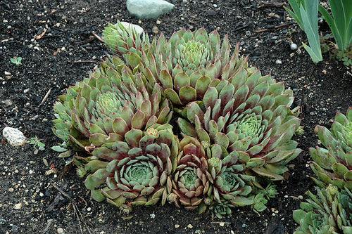 Ruby Heart Hens And Chicks