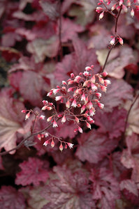 Berry Smoothie Coral Bells flowers