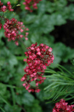 Load image into Gallery viewer, Paris Coral Bells flowers