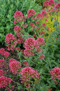 Red Valerian flowers