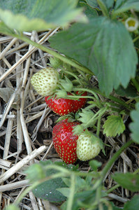Quinault Strawberry fruit
