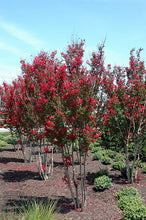 Load image into Gallery viewer, Red Rocket Crapemyrtle in bloom