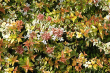 Load image into Gallery viewer, Kaleidoscope® Abelia flowers