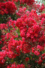 Load image into Gallery viewer, Red Rocket Crapemyrtle flowers