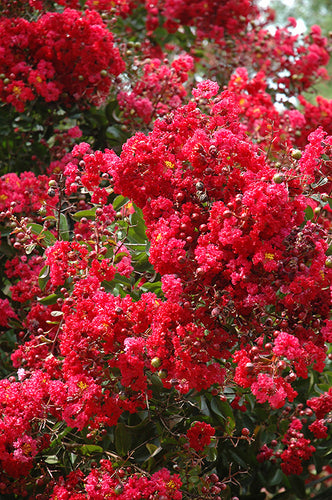 Red Rocket Crapemyrtle flowers