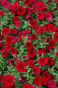 Easy Wave® Red Velour Petunia flowers