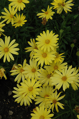 Voltage™ Yellow African Daisy flowers