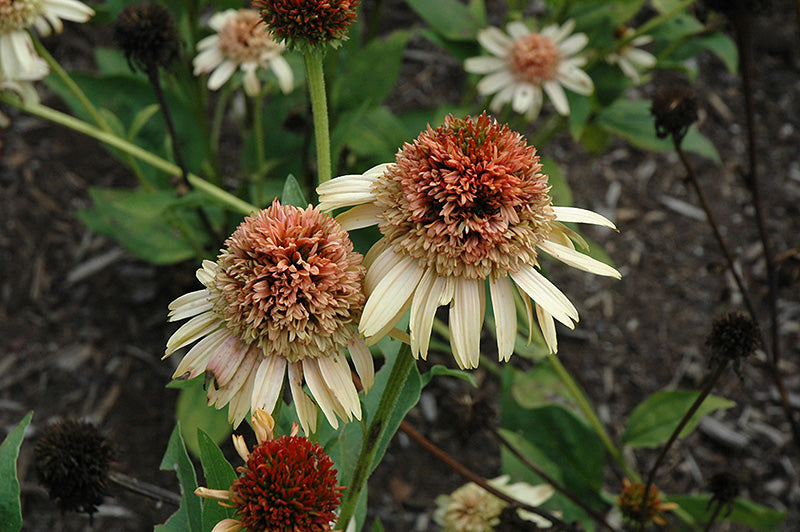Supreme Cantaloupe Coneflower flowers