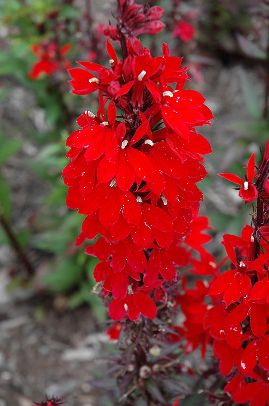 Vulcan Red Lobelia flowers