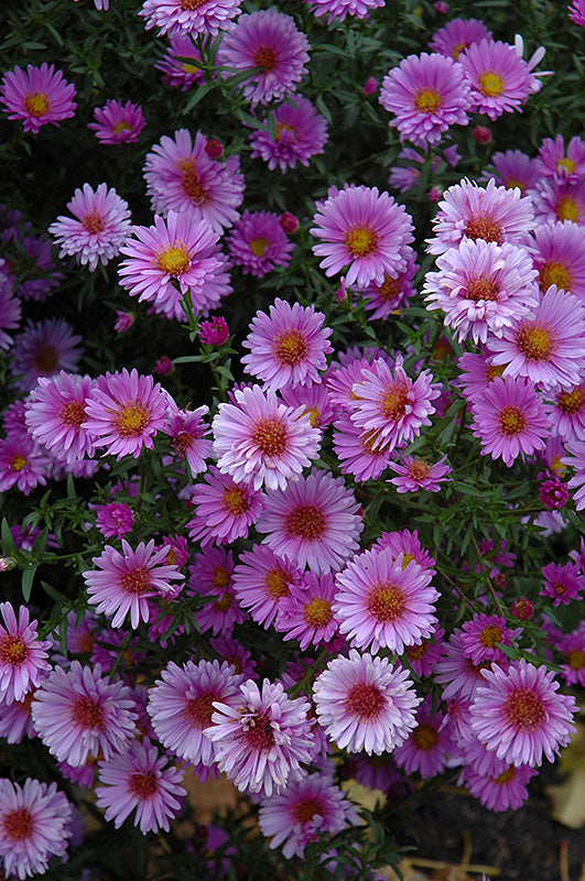 Purple Dome Aster flowers