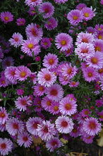 Load image into Gallery viewer, Purple Dome Aster flowers