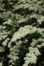 Load image into Gallery viewer, Snowmound Spirea flowers