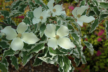 Load image into Gallery viewer, Wolf Eyes Chinese Dogwood flowers