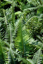 Load image into Gallery viewer, Sword Fern foliage