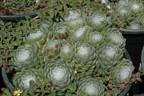 Forest Frost Cobweb Hens And Chicks