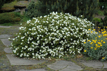 Load image into Gallery viewer, White Rockrose in bloom