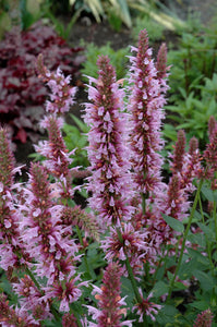 Cotton Candy Hyssop flowers