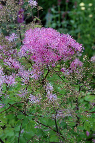 Black Stockings Meadow Rue flowers