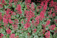 Load image into Gallery viewer, Paris Coral Bells in bloom
