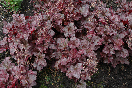 Berry Marmalade Coral Bells in bloom
